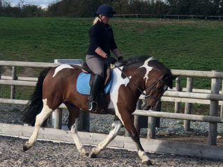 Super Stunning 15hh Tri Coloured Gelding