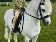 Gorgeous Welsh Section A Gelding Junior/Open Working Hunter Pony