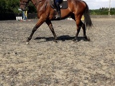 Handsome thoroughbred gelding