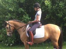 Lovely 14hh Dun Connemara