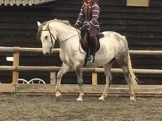 14.3hh  registered Connemara Mare grey 5 years