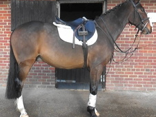 Good Looking ISH Gelding, Dorset
