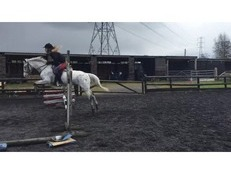 13hh Welsh Section B X Appaloosa