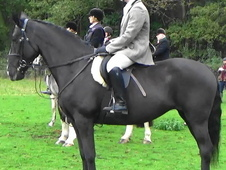 Quality Irish Sport Horse FOr Sale Dorset