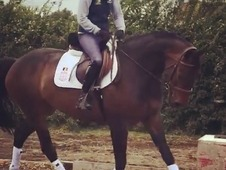 16. 1hh AES Dressage Horse For Sale