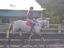 Top quality 15. 1hh 4 year purebred grey dunn connemara gelding