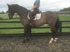 15.2hh middle weight sports horse x