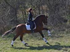 Amazing PRE dressage stallion