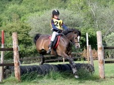 12. 2 Welsh bay Section b Gelding