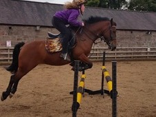 Pony for sale, Welsh cross