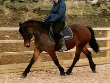 **FLASHY WELSH COB MARE**