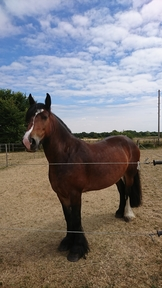 Heavy quality cob mare