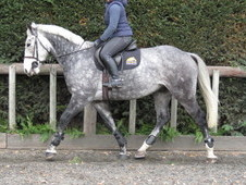 Superb hunter/potential top class riding club horse