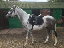 Stunning 6 year old 15h/15. 1 Dapple Grey Mare