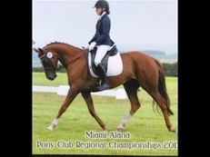 Miami alana 7yo mare pony of a lifetime dressage/jumping