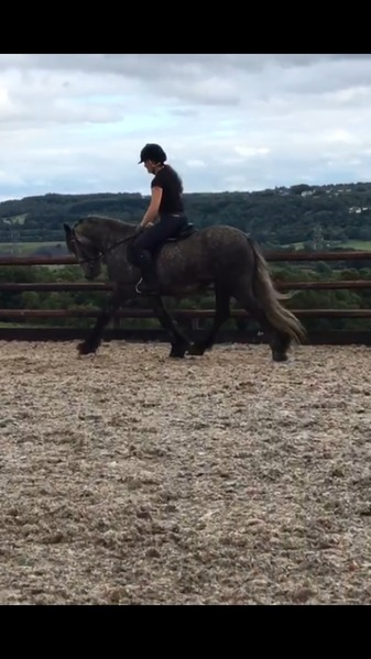 13.2 grey fell pony