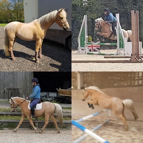 Eye-catching 128cm/12.2hh PC / SJ/ DR / Event / Hunting pony