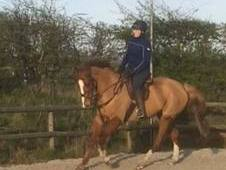 16. 2hh Irish Gelding. 10 years.