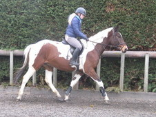 Super riding club horse/alrounder