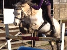12hh 9 yr old section a gelding