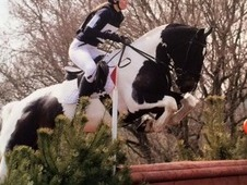 15'3 Handsome coloured eventer/ all rounder