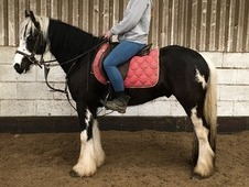 Black Spot - coloured gelding