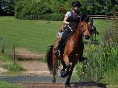 Pretty and talented 10-year old 15hh Dutch Warmblood mare