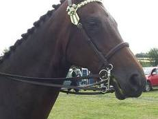 Beautiful 16.1hh mare available for loan