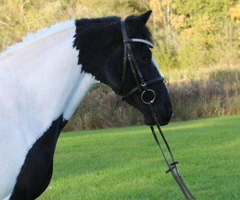 REDUCED TO SELL Handsome 14.2hh Piebald Gelding rising 8 quiet ride