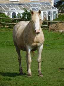 PRETTY PALOMINO WELSH SECTION C BROODMARE including a covering if required - OTHER WELSH SECTION D BROODMARES FOR SALE, WITH EXCELLENT BLOODLINES AND TEMPERAMENT