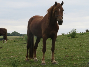 SMART  RISING 5 YEAR OLD WELSH COB SECTION D GELDING WITH GREAT POTENTIAL - OTHER QUALITY STOCK  FOR SALE, WITH EXCELLENT BLOODLINES AND TEMPERAMENT