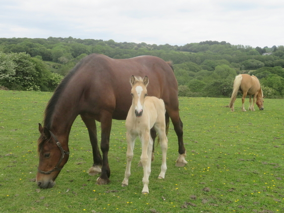 SMART WELSH COB SECTION D BUCKSKIN COLT - OTHER FOALS AVAILABLE AS WELL AS QUALITY STOCK