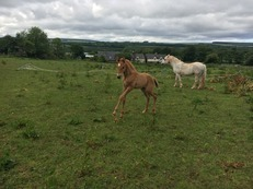 Broodmare with Foal at Foot