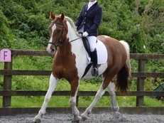 BLIMEY O'RILEY - stunning coloured 16.3hh ISH GELDING