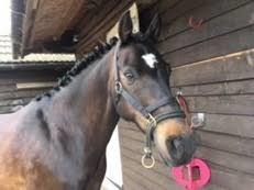 WANTED 14-16hh HORSE, HAPPY HACKER, ALLROUNDER, £2500