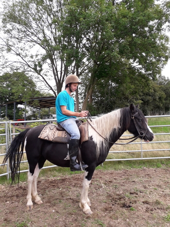 14.2 gelding black and white horse