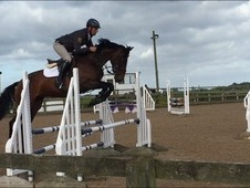 16. 1hh 4 year old bay mare by Lord Z