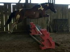 Coloured unbroken stunning performance mare 16hh