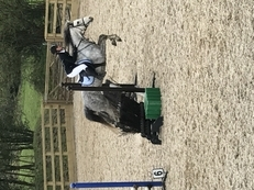 13.2h Welsh Section B Mare grey