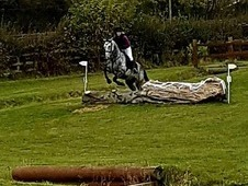 Super 15. 3hh Irish sports horse grey mare