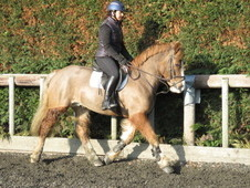 Super middleweight irish cob