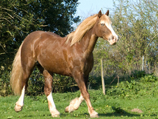 15hh Welsh Mare