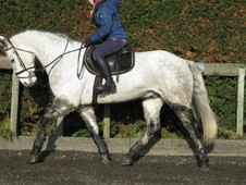 Top class pony club/riding club horse