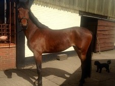 **Super Rising 4yo Homebred Showjumping Mare by Ablesco (Ublesco)...