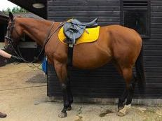 Bonnie a 16.2h, 8 year old, bay Thoroughbred mare