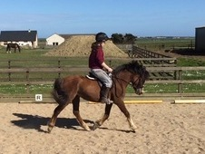 Welsh section c mare, fun, talented pony