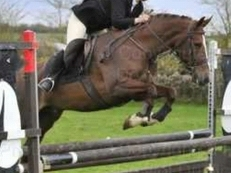15.1/2hh Fun Alrounder For Part Or Full Loan