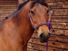 Lovely 13.2hh mare for loan