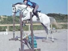Handsome 16hh Grey TB Gelding 10 yrs old
