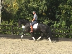 Germanbred Project Gelding